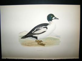 Morris 1870 Antique Hand Col Bird Print. Golden-Eye